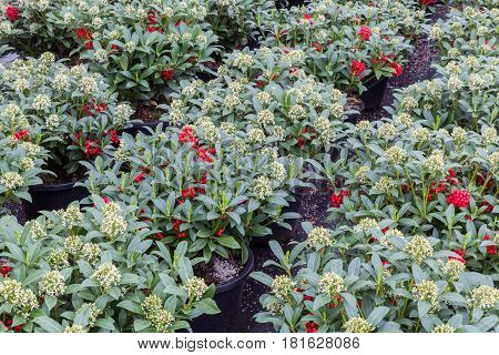 Green shrub (Skimmia) with red fruits in a Dutch greenhouse