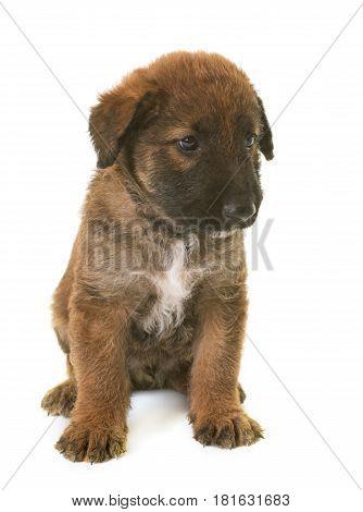 puppy belgian shepherd dog laekenois in front of white background