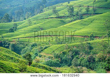 Beautiful view to tea plantation in mountain region of Sri Lanka