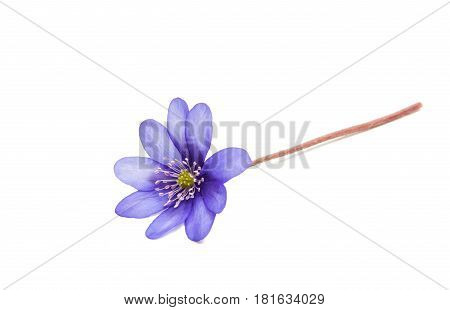 Hepatica Nobilis - first Spring blue flower
