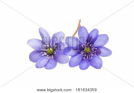 blue Hepatica Nobilis - first Spring flower