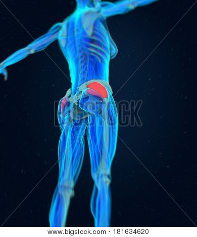 Gluteus Medius. Female anatomy hip muscle. 3d illustration