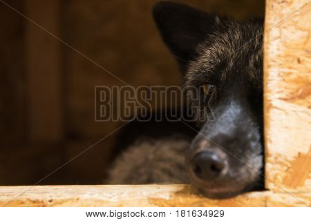 Beautiful black fox closeup portrait