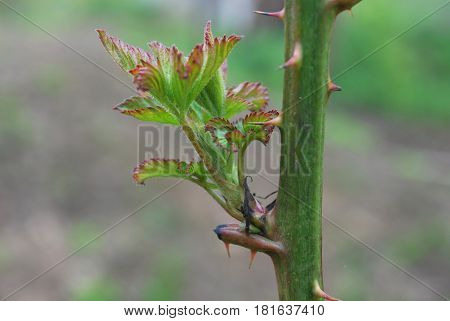 Blackberry young shoots on stem in spring