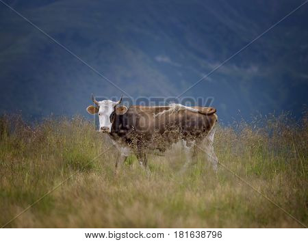 a brown cow that is looking towards the camera, pasturage