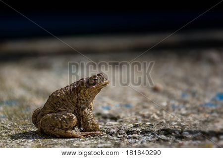 Green true toad watching on the asphalt road