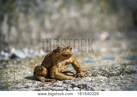 Green true toad watching sitting on the asphalt road