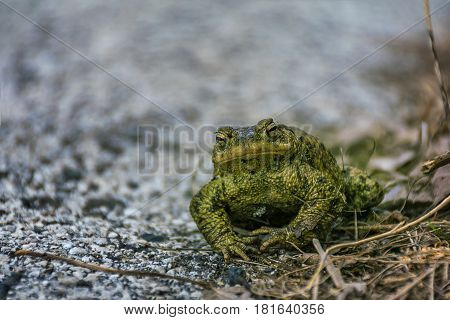Green true toad sitting on the asphalt road / gray rock