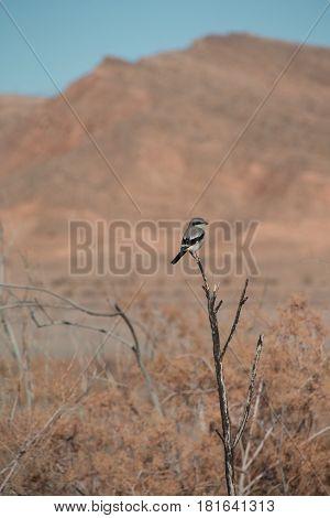 Loggerhead Shrike Bird In The Nature Of Lake Mead Recreation Area, Nevada