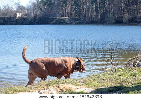 Dogue De Bordeaux walking around the forest with dog owner