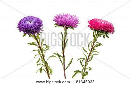 Colourful Aster flower isolated on white background