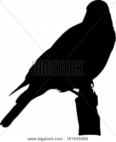 silhouette of a wild burchell's starling on a branch of a tree - digitally hand drawn vector silhouette, black isolated on white background