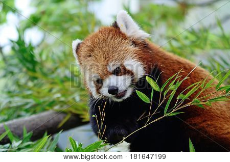 Cute Red panda or also known as lesser panda.