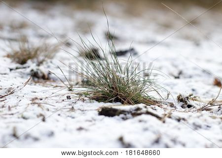 Tiny Green Grass Sleeping Under Snow. Spring Is Coming Soon