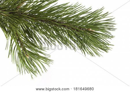 Spruce twig isolated over white. You can hang all you want.