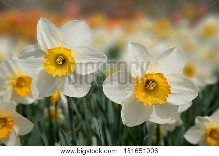 Beautiful Narcissus Flowers In Flowerbed