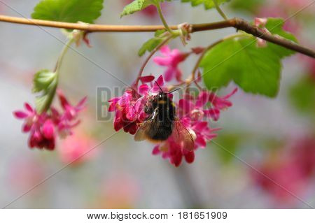 Bumblebee collects nectar on pink flower young spring leaves in the background