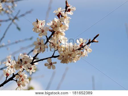 Spring flowers on the branch of apricot. Spring blossom of apricot branch white flowers branch tree. Nice spring april weather.