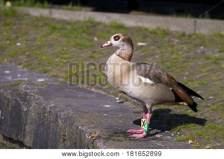 Egyptian Goose (Alopochen aegyptiacus) adult standing on the Quayside of a Town Canal