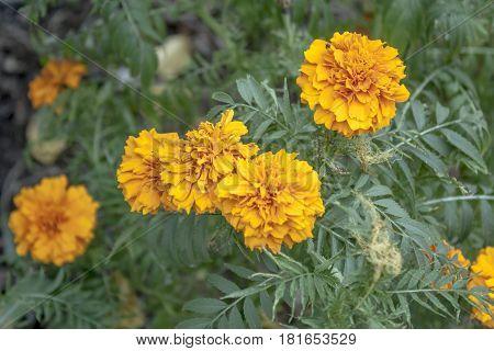 Flores naranjas en diferentes condiciones en jardín de Ibagué