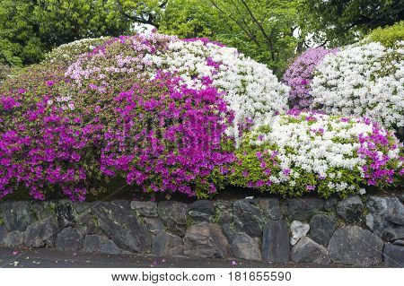 Pink Flowers Of George Taber Azalea During Blossom