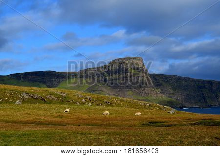 Trio of sheep grazing on grass at Neist Point in Scotland.