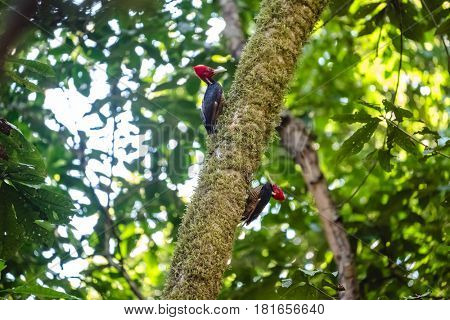 Pale billed woodpeckers (Campephilus guatemalensis) sit on the tree with natural forest background