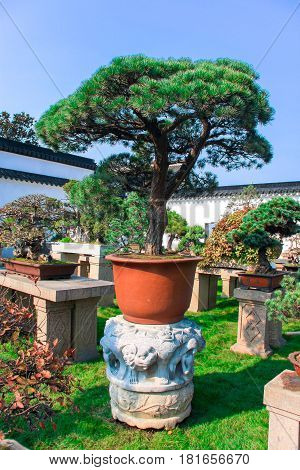 Chinese pine bonsai in a bright orange pot in the garden. Sunny day in autumn