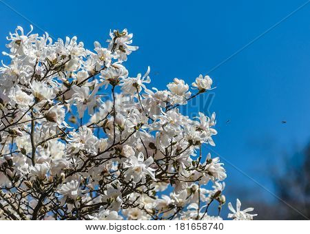 Blooming magnolia tree with white flowers in spring.