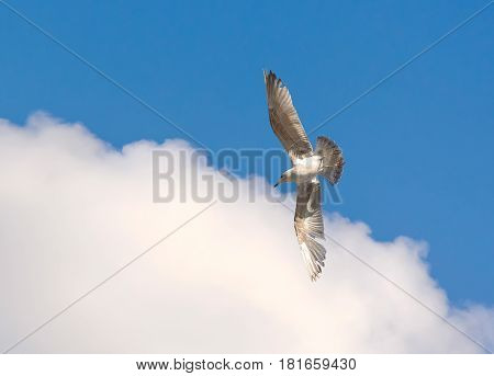 Juvenile seagull flying in the blue sky over the Sea