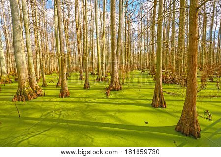 Sun Breaking Through on a Cypress Swamp in the Cache River Natural Area at Heron Pond in Illinois