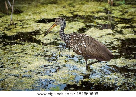 Limpkin hunting for food in mossy waters