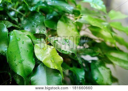 raindrops on Ficus benjamin green leaf, green 2017 summer background