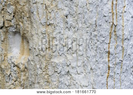 Texture Of Apple Tree Bark, Whitewashed By Lime, Close