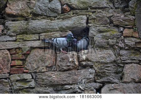 Two pigeons sit in an old stone wall