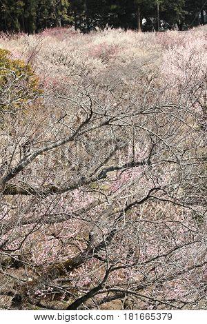 Plum Grove In Kairaku En, Mito, Japan