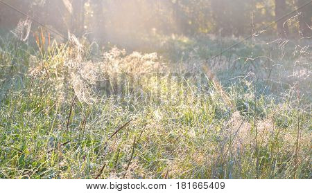 Close up of grass with water drops in the early morning.