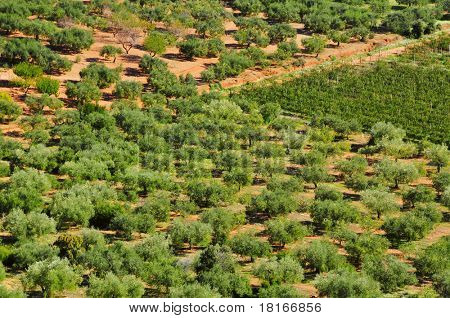 closeup of an olive grove in Mont-roig del Camp, Catalonia, Spain