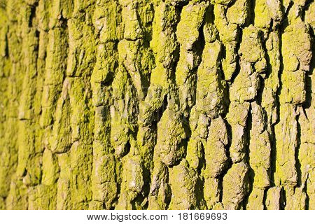 Background Texture Of Tree Bark. Skin The Bark Of A Tree That Traces Cracking