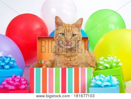 Orange tabby cat peaking out of a birthday box surrounded by colorful presents and bright balloons. Surprise party.