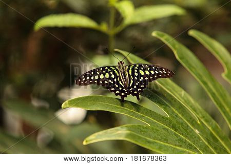 Green and black wings of Tailed Jay butterfly Graphium Agamemnon in a botanical garden in spring
