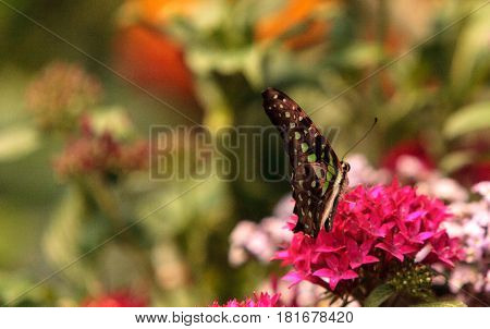 Tailed Jay Butterfly, Graphium Agamemnon