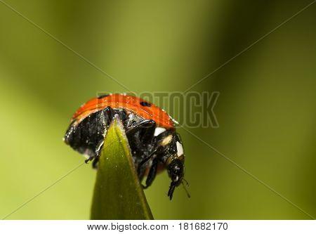 ladybug or ladybird on top of the leaf