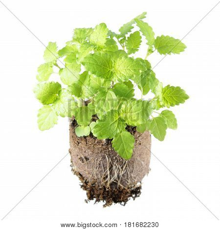 Seedling of common balm (Melissa officinalis) in clod of soil isolated on white background