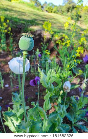 Somniferum the opium poppy is a species of flowering plant in the family Papaveraceae. grown in gardens. at Chiang Mai.