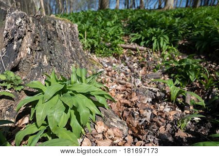 Wild garlic in the forest floor near a old stump.