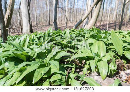 A forest loor with fresh green wild garlic