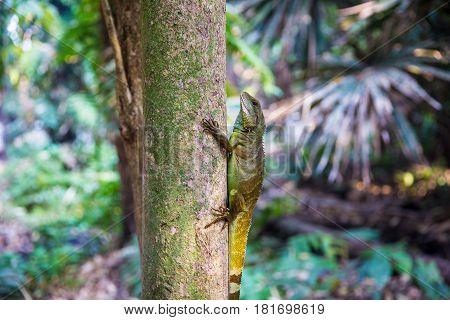 Agamidae animal wildlife The big cute chameleon on the tree.