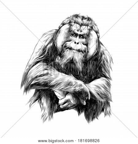 hairy orangutan in full growth sits on his haunches graphics sketch vector black and white drawing