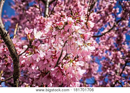a spring bloom tree with pink flowers